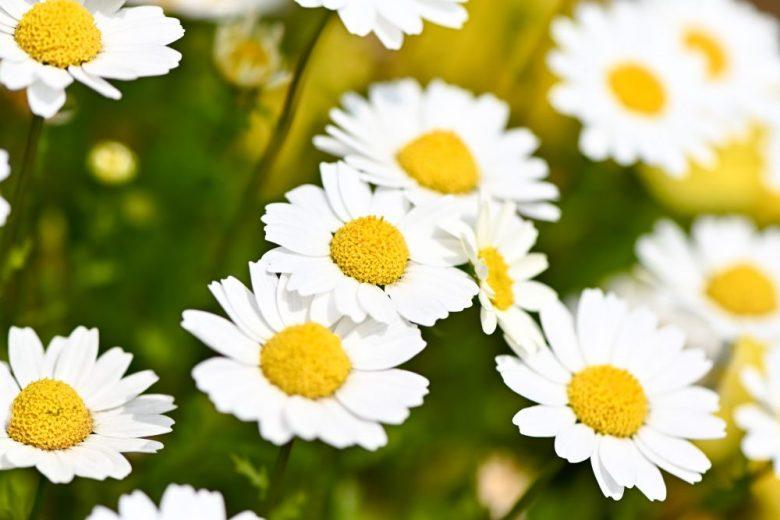 h3-10 マーガレットの花言葉