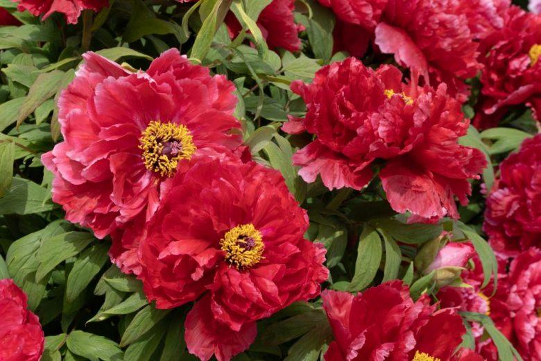 h3-11 牡丹の花言葉