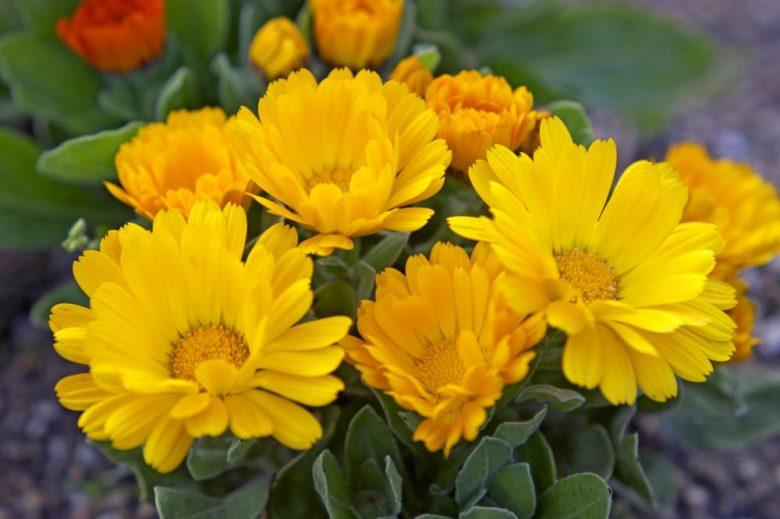 h3-14 キンセンカの花言葉