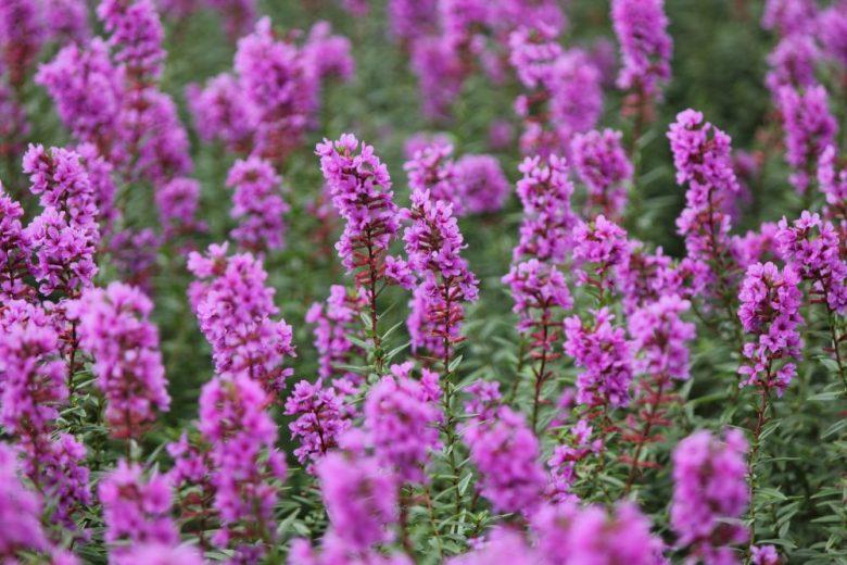 h3-24 ミソハギの花言葉