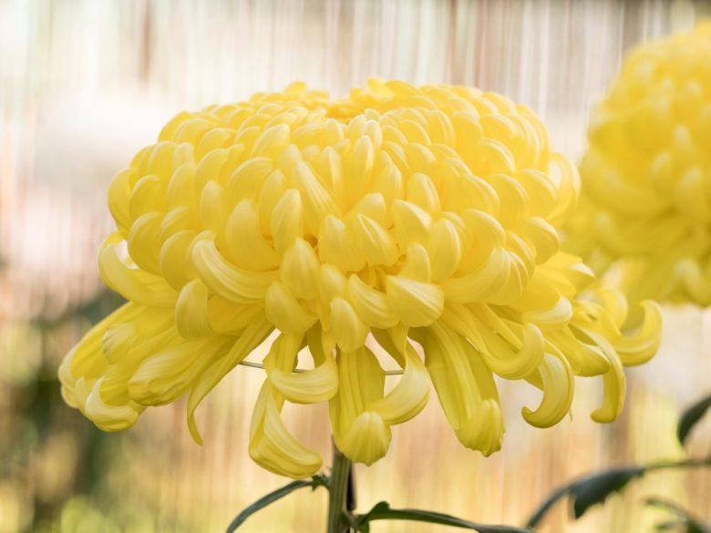 h3-26 菊の花言葉